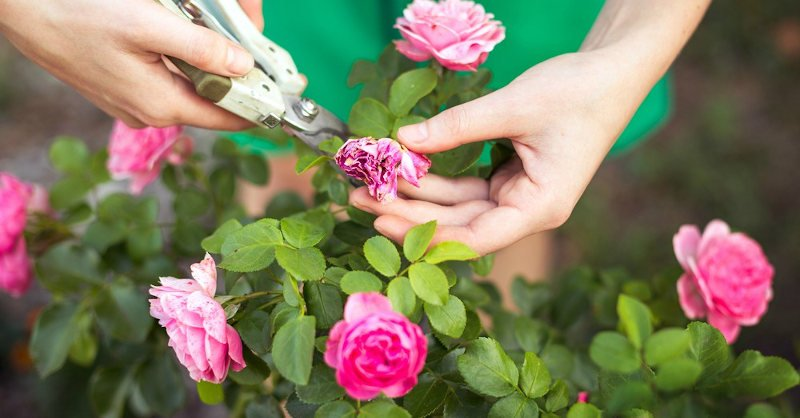 Cuidado de las rosas