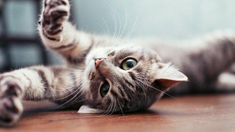 Beneficios de una alimentación saludable en los gatos